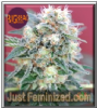 Big Head Gnasha Female 5 Marijuana Seeds